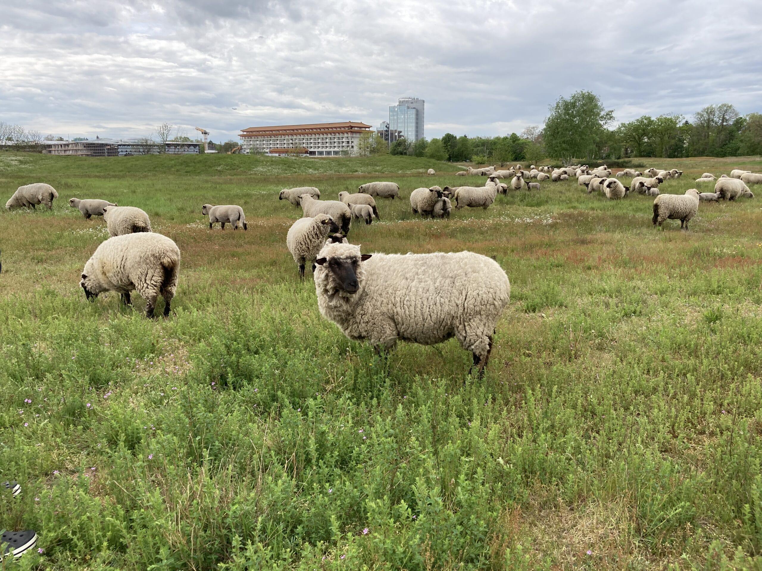Ausflug zu den Schafen